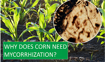 Why does corn need mycorrhization?