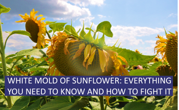 White mold of sunflower: everything you need to know and how to fight it